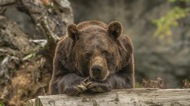 Brauner Contentbär langweilt sich