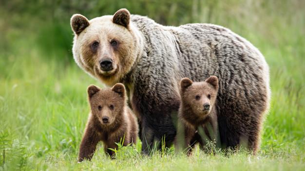 Moderne Brauncontentbären-Familie sieht anders aus!