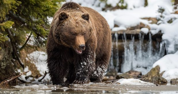 Primitiver Grizzly